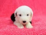 純種可愛古牧幼犬寶寶 白頭通背 四蹄踏雪 品相一流