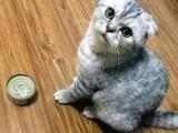河源出售波斯猫幼猫 网红波斯猫