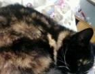 5个多月短毛猫,特别可爱,粘人,随便蹂躏,