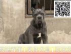哪里出售卡斯罗犬 纯种卡斯罗多少钱