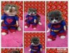 超人蓝白猫宝宝