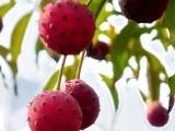 农业发展直供山荔枝山野果石枣种植
