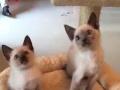 想买一条蓝猫或者暹罗猫
