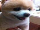 博美好养吗 送女朋友什么品种的狗狗好 博美一般多少钱