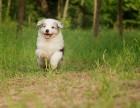 哪里出售边境牧羊犬 哪里有卖边境牧羊犬