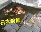 批发各类观赏鱼锦鲤金鱼红鲫