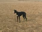 纯种格力犬猎兔灵缇犬惠比特犬细狗上下摩托