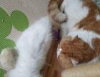 2个月弟弟个人家庭散养品质布偶猫仅售3000元!