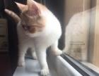 加菲猫 母猫 种猫 异国短毛猫