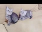 美短蓝猫混血儿打包1500