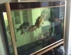 出5条高品质锦鲤,1.5米可丽爱屏风缸