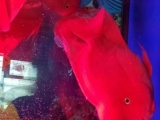 22-24公分大的起头财神鹦鹉鱼