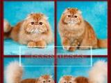 --本地猫舍--兽医世家--波斯猫---长毛猫--