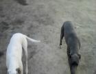 格力犬紧急出售