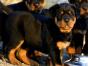 罗威纳犬三针做齐 可视频送货 包活签协议公母齐全
