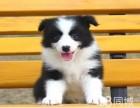 无法抵挡的魅力 纯种边牧幼犬 常年有货 欢迎您