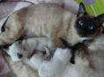 蔓蔓家の家暹罗猫,找长期饭票