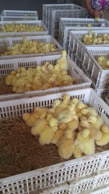 鹅苗批发,河南鹅苗养殖孵化基地,鹅苗养殖技术指导