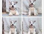 繁殖场出售精品纯种 哈士奇幼犬 批发零售均可包健康