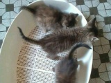 家养中国狸花猫