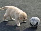 重庆金毛幼犬多少钱一只重庆哪里有卖金毛 金毛价格