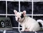 哪里卖法国斗牛犬 石家庄黑色法国斗牛多少钱 法国斗牛犬照片