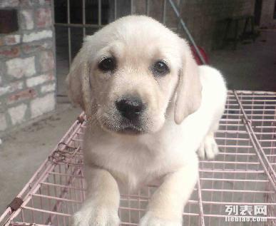 重庆哪里能买到拉布拉多在重庆那里有卖纯种黑色拉布拉多