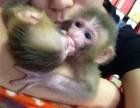 山东省淄博市哪里有卖袖珍石猴宠物猴