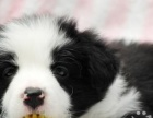 家养边境 牧羊犬 宝宝一窝出售给喜爱的长的非常不错