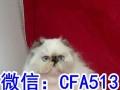 长毛波斯猫宝宝弟弟妹妹都有可视频全国包邮