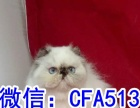 长毛波斯猫宝宝弟弟妹妹都有可全国包邮