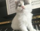 自己家生的小蓝猫