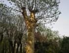 渭阳出售18公分白蜡树 免费种植指导