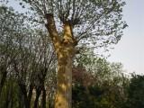 四平超低出售30公分合欢树零售