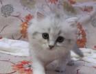 猫舍繁殖各种高品质猫咪 金吉拉 包纯种健康