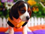 佛山养狗场出售多种宠物狗 纯种比格犬多少钱一只 多窝挑选