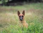 猋犬训犬俱乐部 军犬 警犬训练