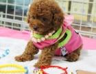 专业繁殖贵宾犬养殖基地 可以来犬舍里挑选