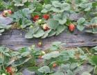 兰州哪里可以摘草莓——榆中摘草莓一日游