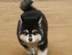 重庆出售纯种阿拉斯加幼犬巨型雪橇犬阿拉斯加宠物狗