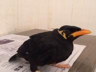 转让会说话的越南鹩哥 雏鸟 幼鸟 超可爱的