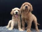杭州本地出售纯种金毛犬 品质保障 品种多多 价格便宜欢迎挑选