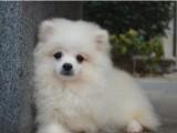 犬舍繁殖博美俊介丶包纯种健康养活丶送货上门
