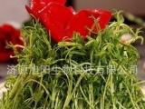芽苗菜种植,香椿苗 萝卜苗 松柳苗 松柳芽苗菜 萝卜芽苗菜