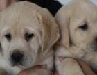 出售自家养拉布拉多幼犬公母多只 找爱心人拎养