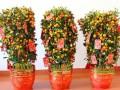 武汉绿植新春植物金桔橘树盆栽春节过年金桔树带果,武汉送货上门