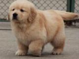 重庆出售纯种金毛幼犬 公母都有 购买签协议 可挑选