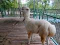 广州哪里可以租羊驼,传说中的草泥马是怎样的呢