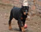 专业犬舍繁殖杜宾犬 裁耳 立耳已做好 高品质纯种健康有保障