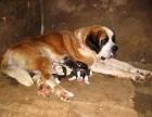 高品质纯种(圣伯纳幼犬)出售 纯种血统包退换